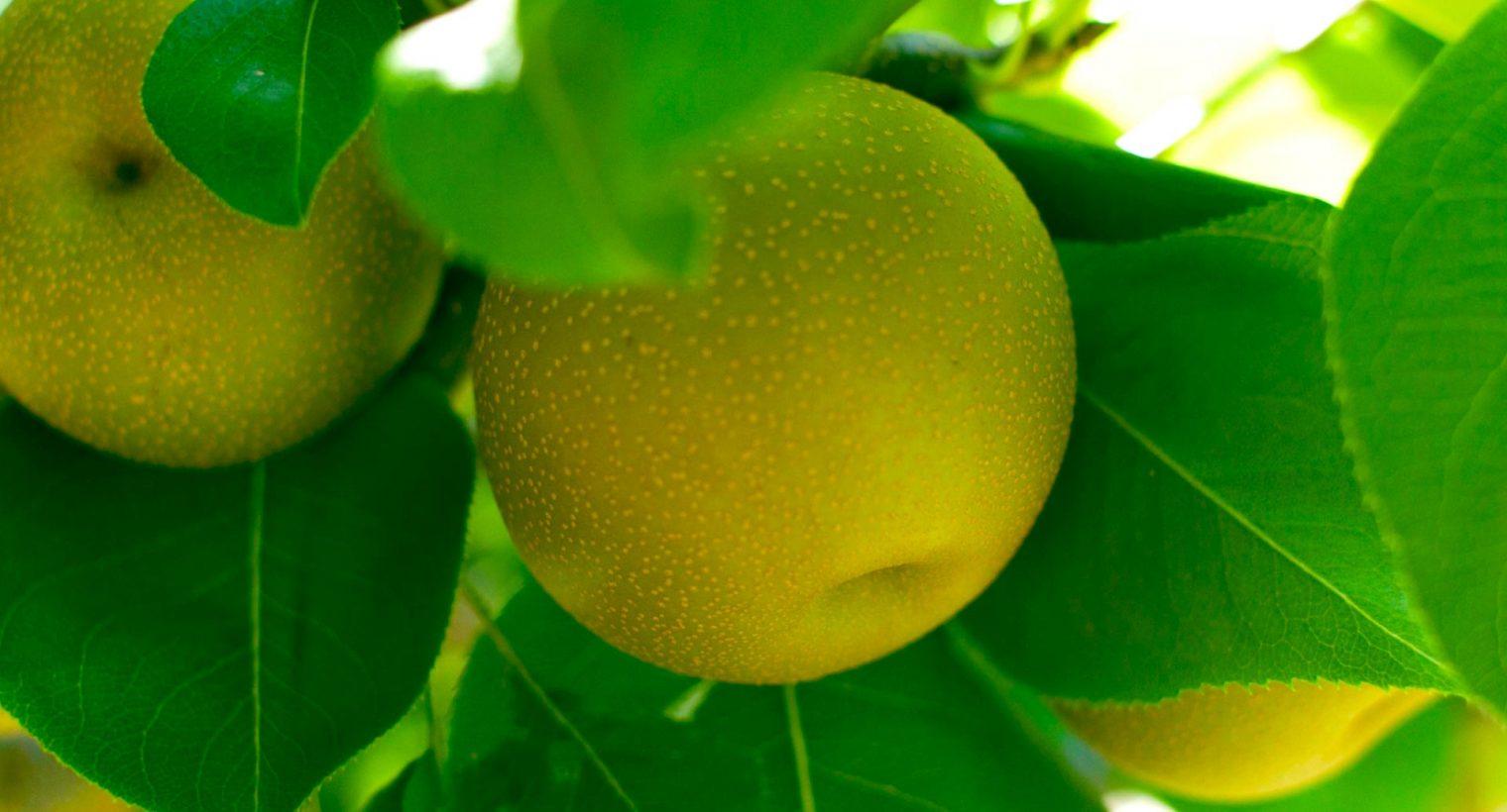 Oro Agri Pome Meyve Uygulama Kılavuzu
